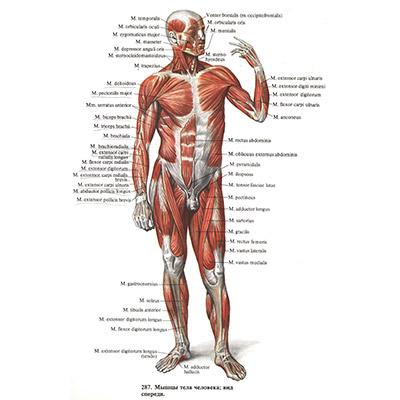 V: Anatomija